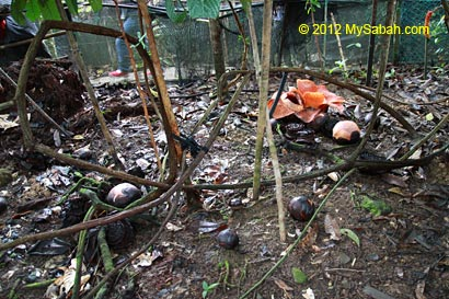 tetrastigma vines and buds of rafflesia