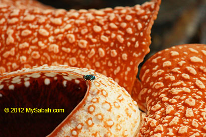 fly on rafflesia