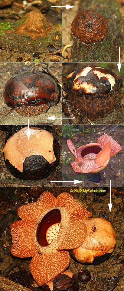 life cycle of rafflesia