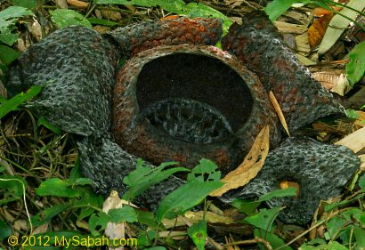 withering rafflesia