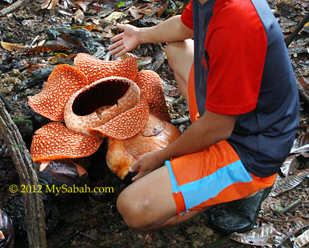 next to rafflesia