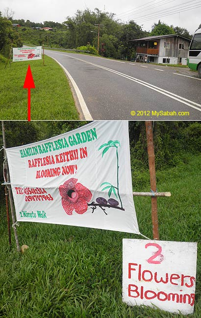 banner of blooming rafflesia at Poring