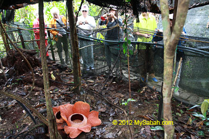 tourists looking at rafflesia