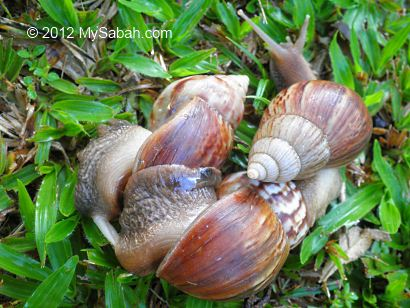 Giant East African Snail