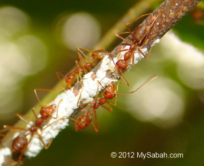 red weaver ants