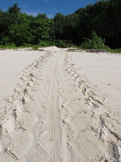 tracks left behind by mother turtle