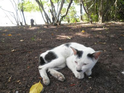 cat of Mantanani Besar