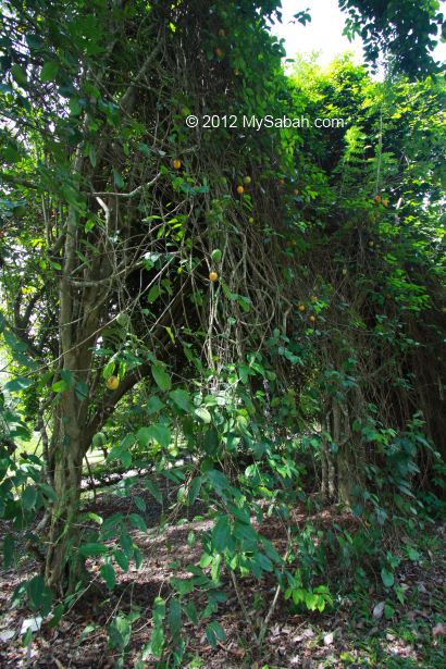 wild mangosteen tree