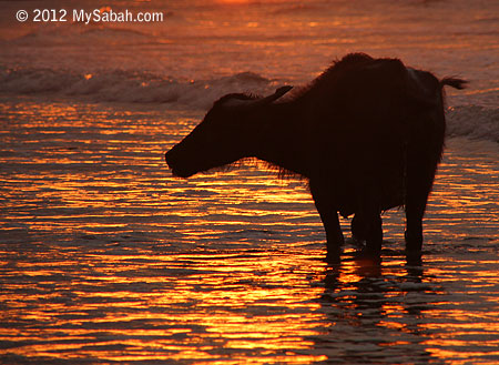Old buffalo in the sea