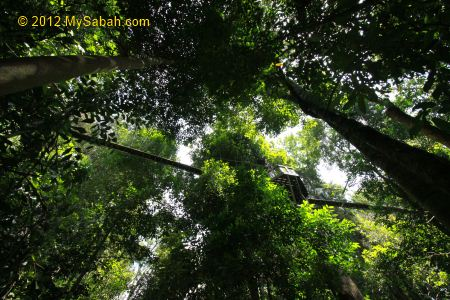 view of Canopy Walkway from the ground & Poring Canopy Walkway the highest in Sabah - MySabah.com