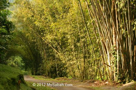 Bamboo trees of Poring