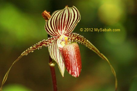 Paphiopedilum rothschildianum or Rothschild's Slipper