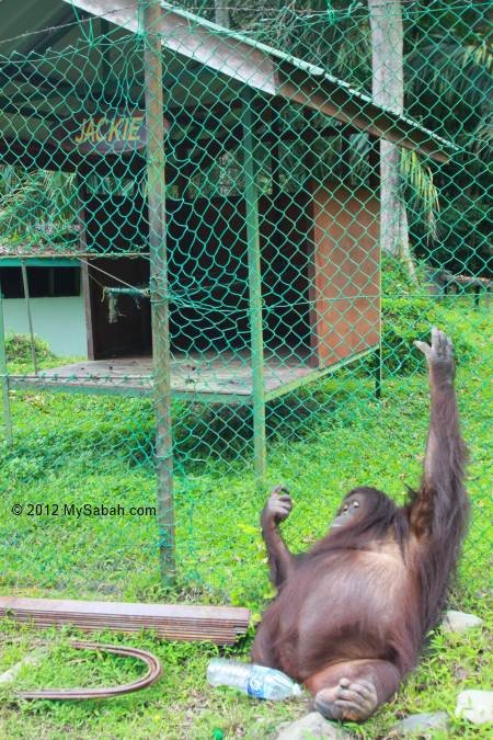 orang utan Jackie and her home