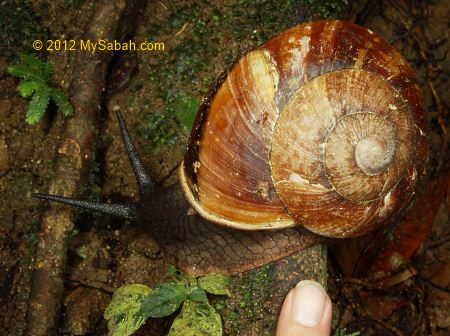 big forest snail