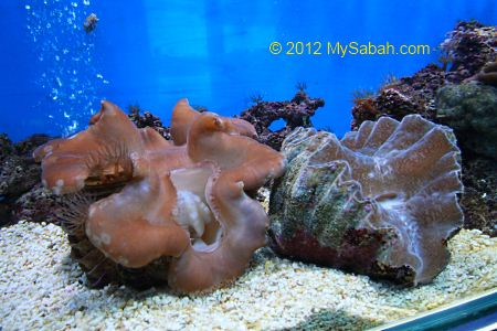 giant clams in fish tank