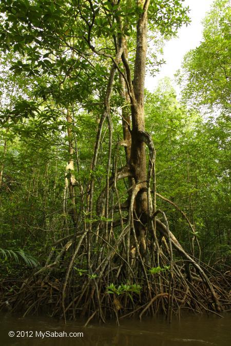 mangrove tree (Rhizophora apiculata)