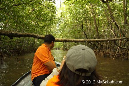 dense mangrove trees