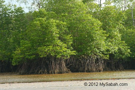 mangrove trees in tidal zone
