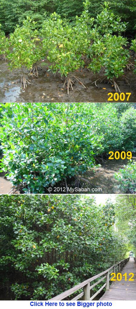 flourishing mangrove