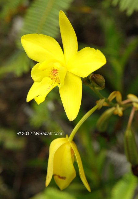 orchid in Tawai forest