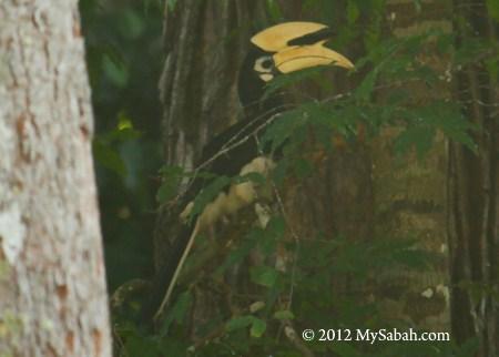 hornbill of Pulau Tiga