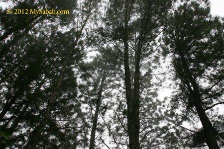 Borneo wood