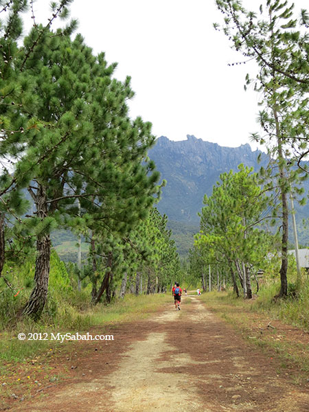 pine trees in Kundasang