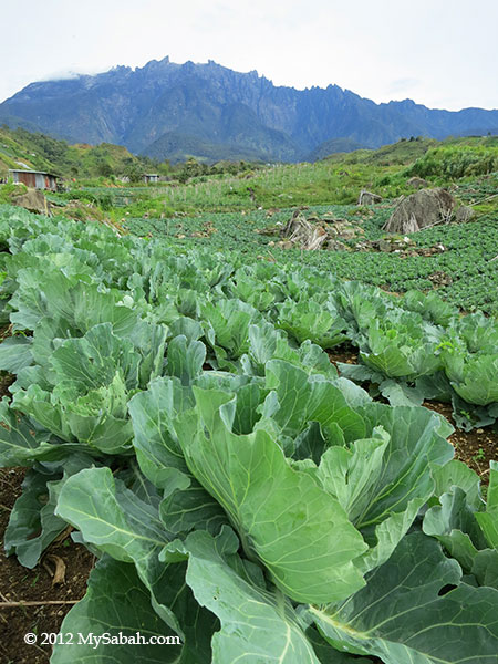 Mt. Kinabalu and cabbage plantation