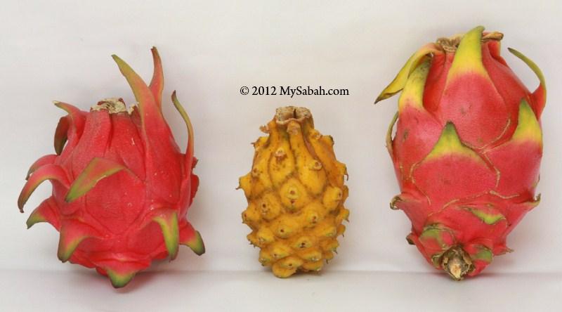 Yellow Dragon Fruit Mysabah Com