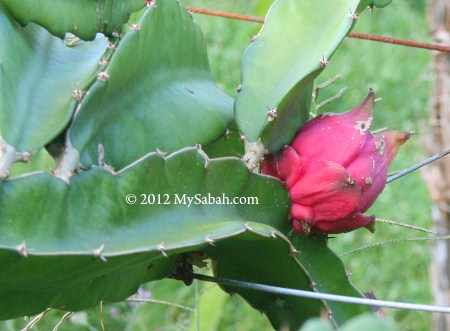 fruiting dragon fruit