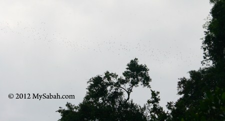 bat swarm leaving Gomantong Cave