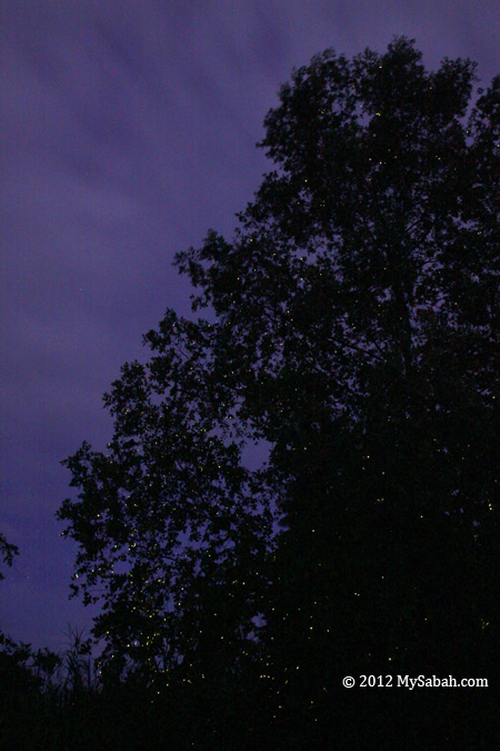 firefly trees