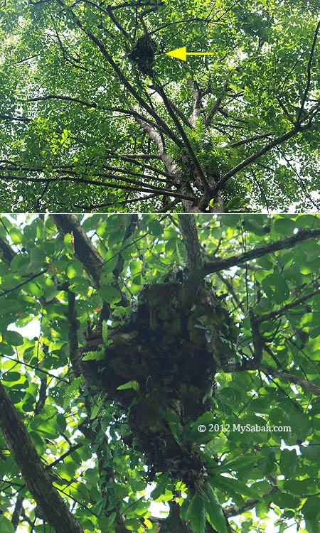 orangutan nest on tree