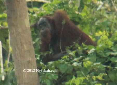 adult orang-utan