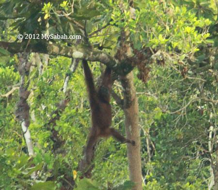 orang-utan climbing tree