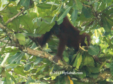 orangutan on tree branch