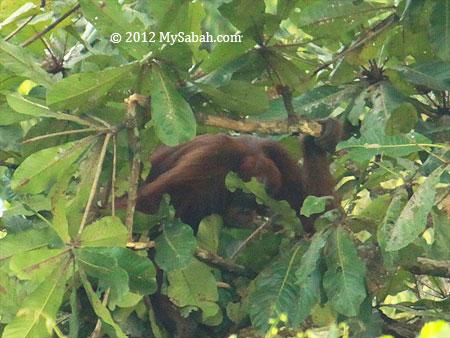 orangutan bending branch