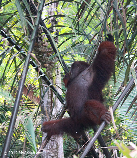orangutan in nipah swamp