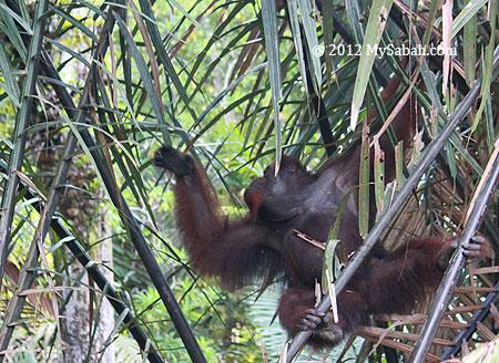 orangutan in nypa forest