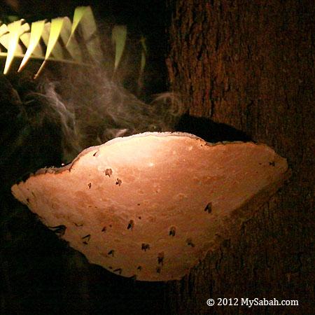 bracket fungus discharges spores