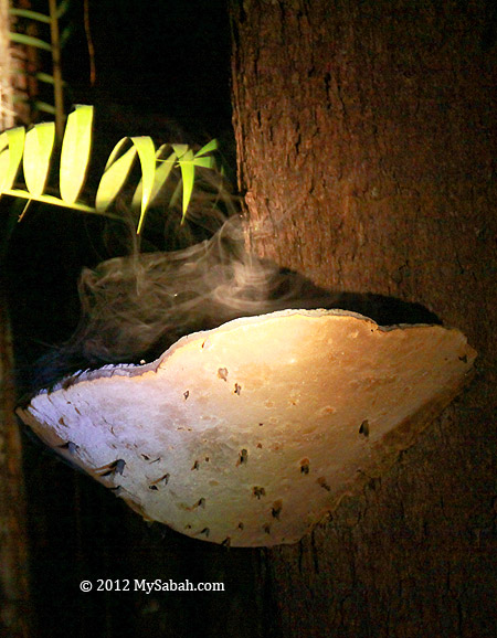 fungus discharges spores