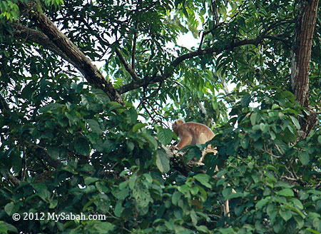 Silvered Langur (white morph)