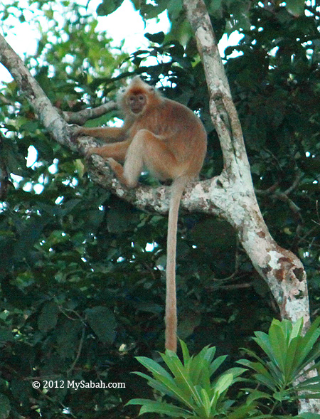 Silver Leaf Monkey (white color)