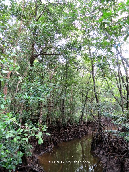 mangrove forest of SLRC