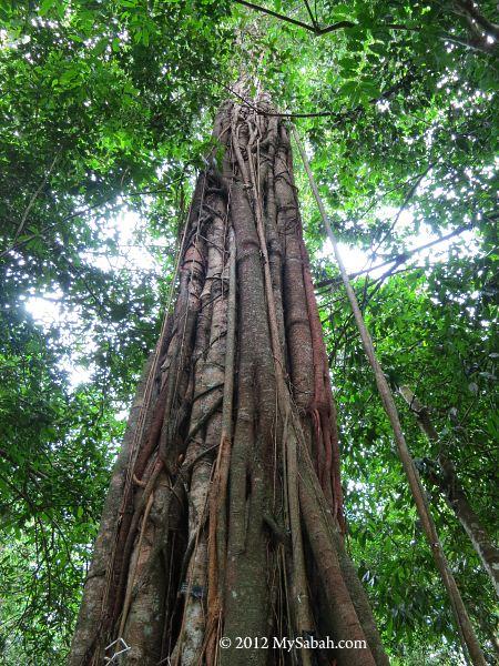 Kayu Ara tree