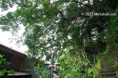 huge canopy of Banyan