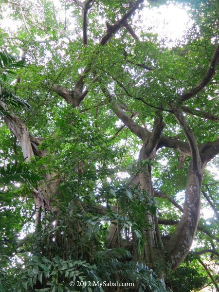 100-year-old Banyan tree