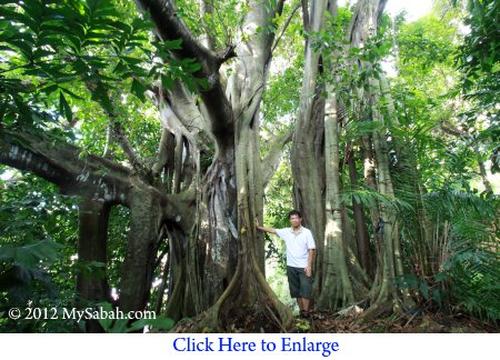 man standing next to Banyan tree