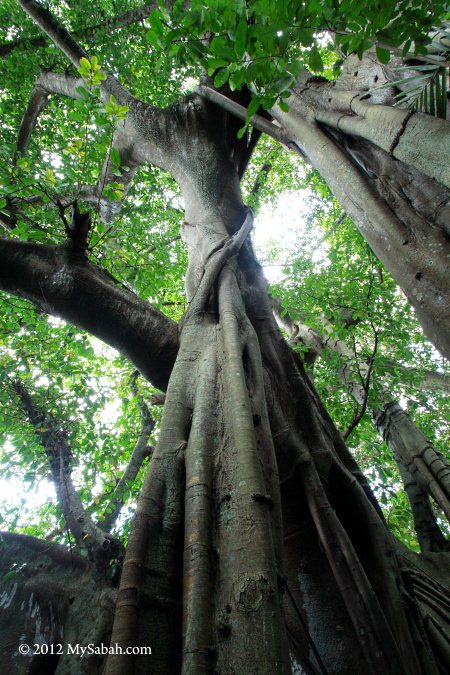 close-up of giant banyan tree