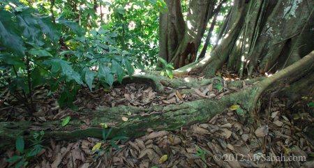 root of Banyan